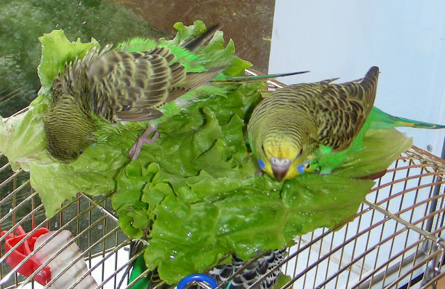 Купальня попугая волнистого в домашних условиях