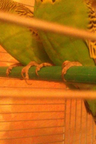 Стригут ли ногти волнистым попугаям