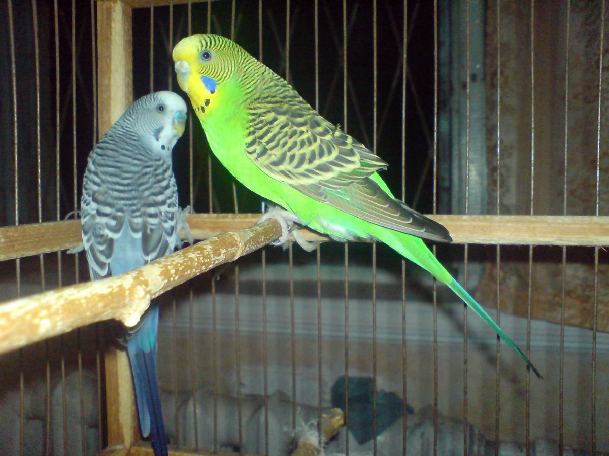 более фото волнистых попугайчиков самцов также любят