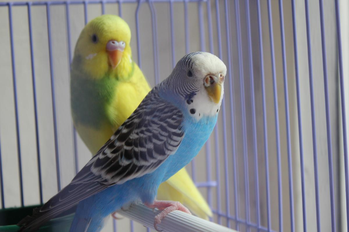картинки попугаев волнистых самок гипс