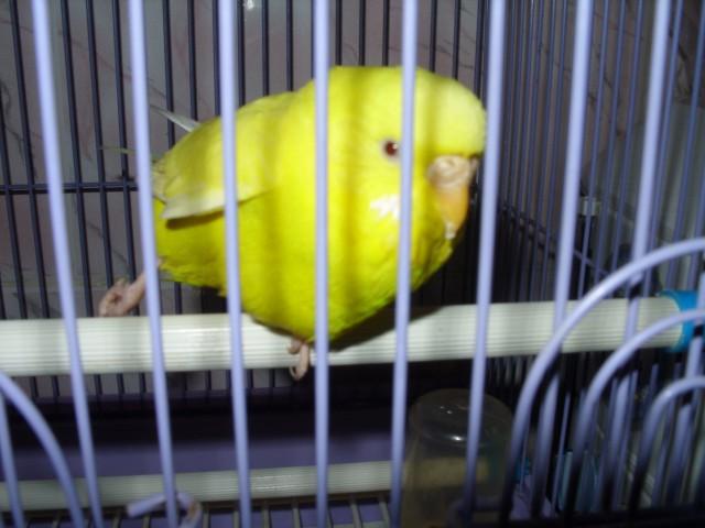 Greywing) - одна из мутаций волнистых попугайчиков, влияющих на основной цвет тела