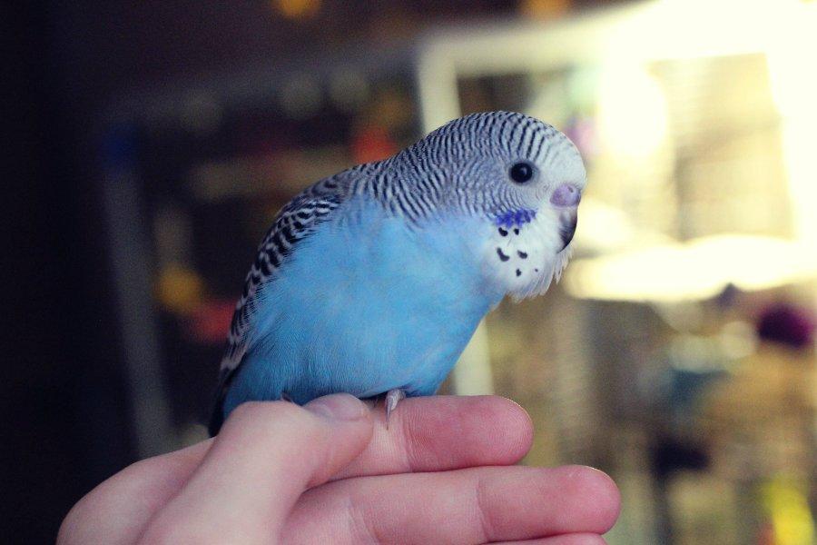 волнистый сиреневый попугай фото этого момента молодая