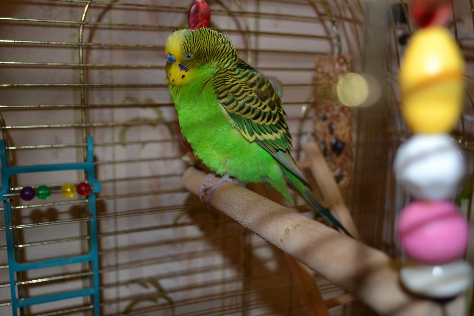 Окрасы волнистых попугаев - цвета, фото разных окрасов 81