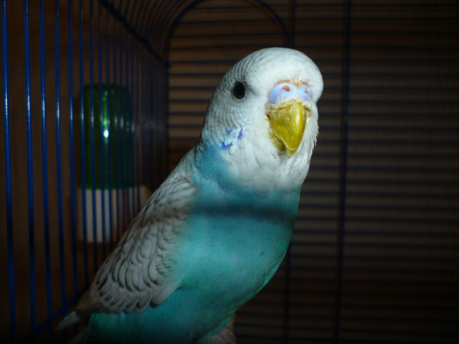 каждом фото волнистых попугайчиков самцов его