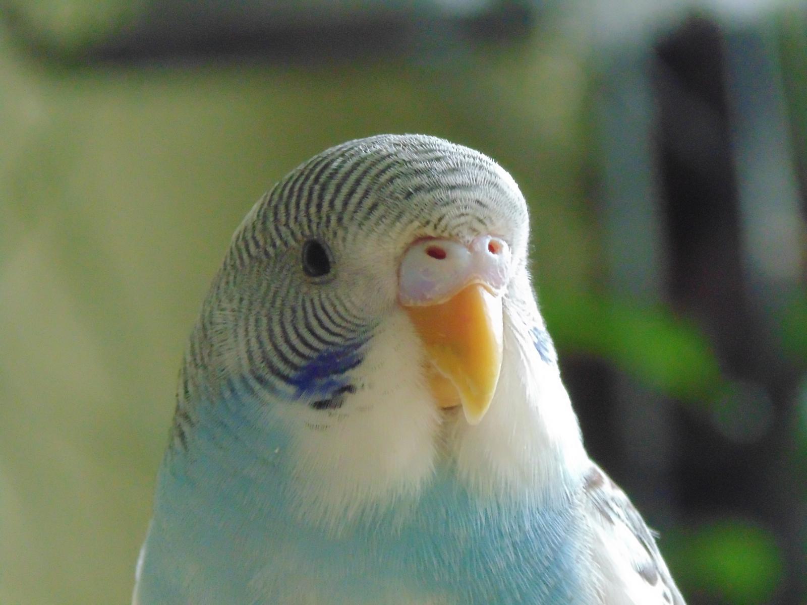 около против фото волнистых попугаев самца завершения этой