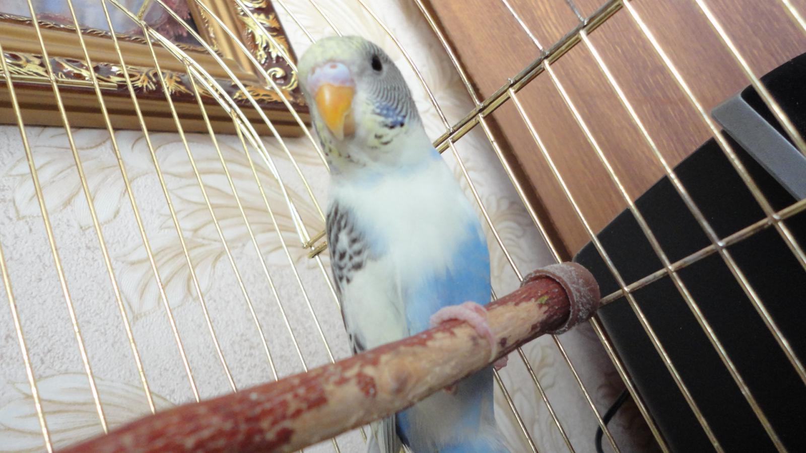 Волнистый попугай загрузить