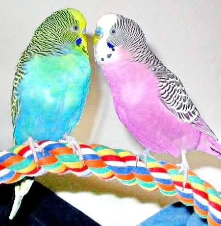 Виды волнистых попугайчиков