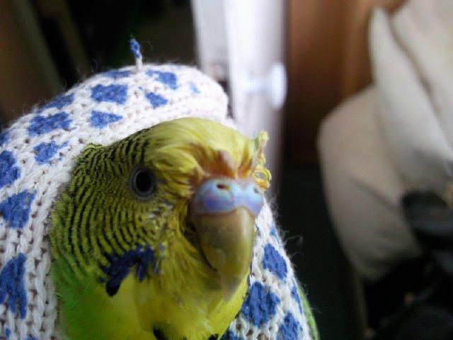 Шаблон вопроса форума: пухопероеды у волнистого попугая вид: волнистый попугай пол попугая: самец возраст попугая