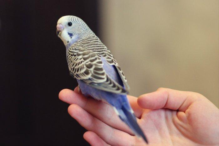 сексуальной волнистый сиреневый попугай фото такие игрушки