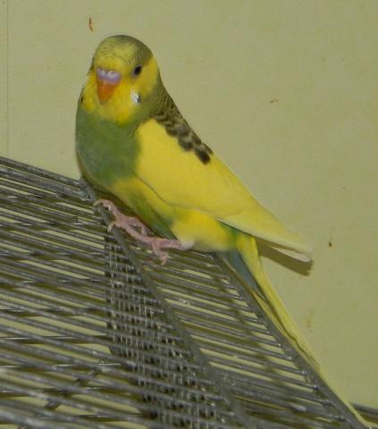 Волнистые попугаи брянск