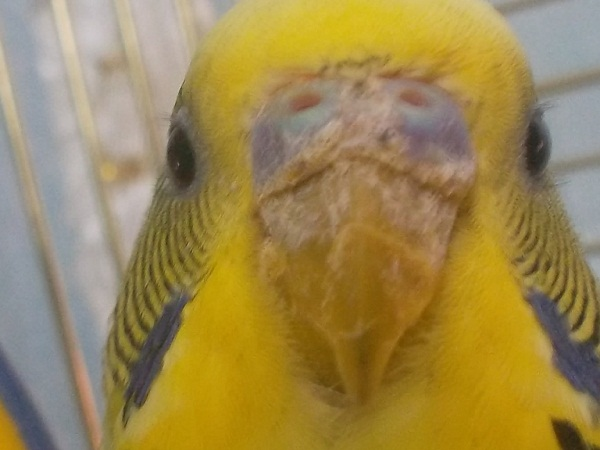 Почему постоянно чешется попугай