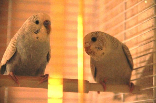 Продам волнистых попугаев,различной окраски,яркие и добрые птички,в еде не прихотливы