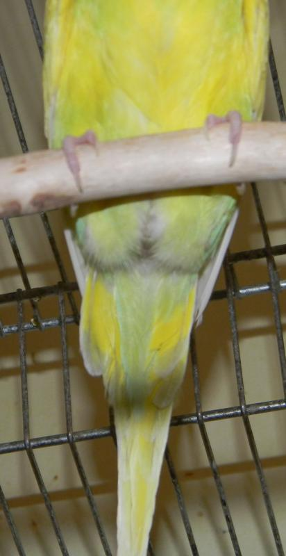 Признаки беременности попугая волнистого