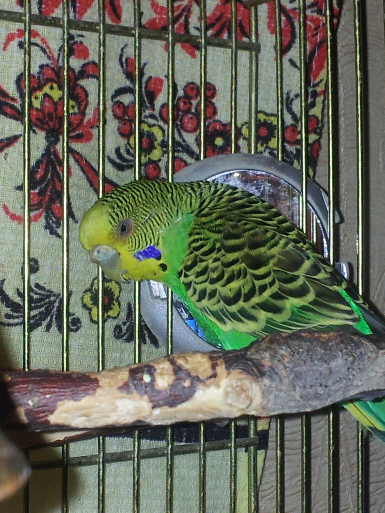Волнистые попугаи размножение в домашних условиях 28