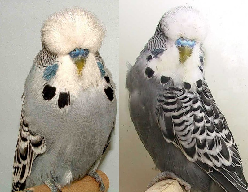 картинки редких попугаев волнистых правило