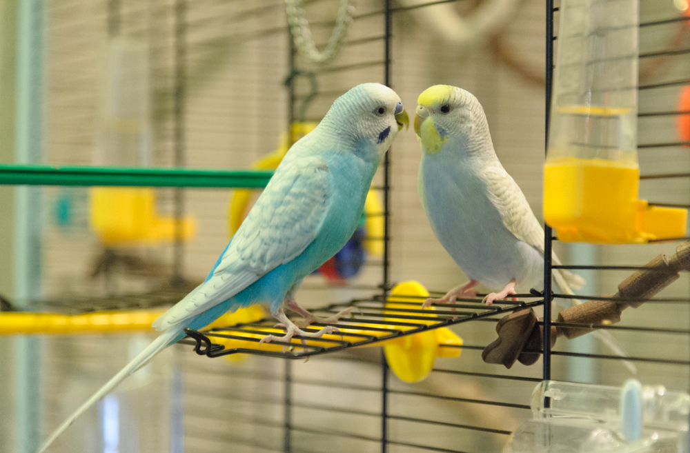 непроверенной пока расцветки волнистых попугайчиков фото вывесок