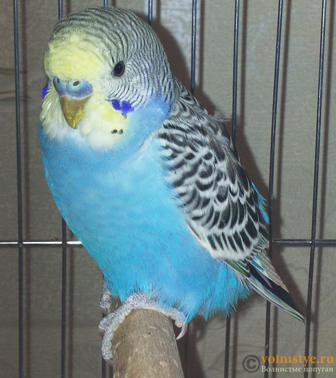 Волнистые попугаи размножение в домашних условиях 62
