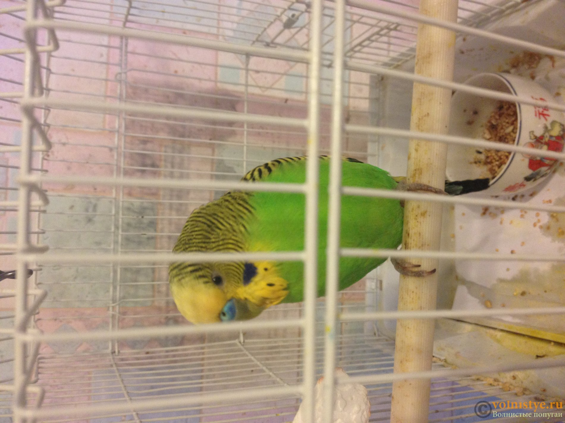 Жидкий помет у попугая - zyxrlgzqywujpg
