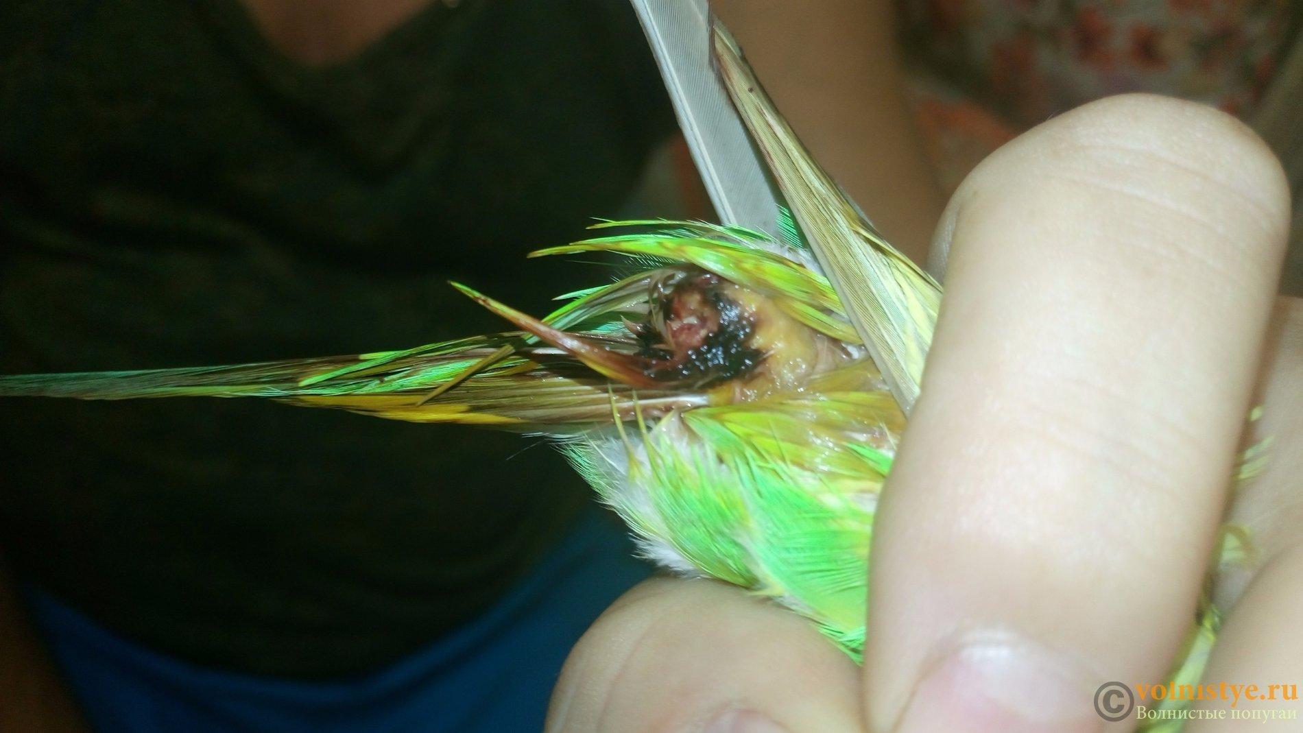 Как лечить облысение у попугаев 80