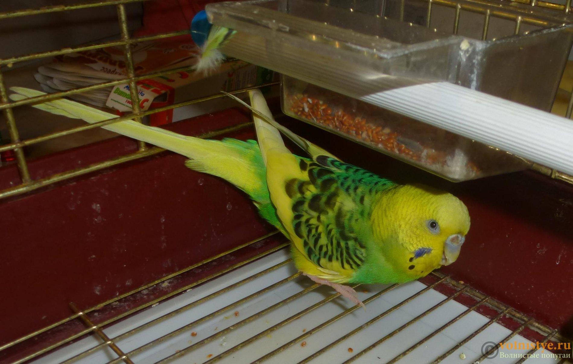 Волнистый попугай, около года