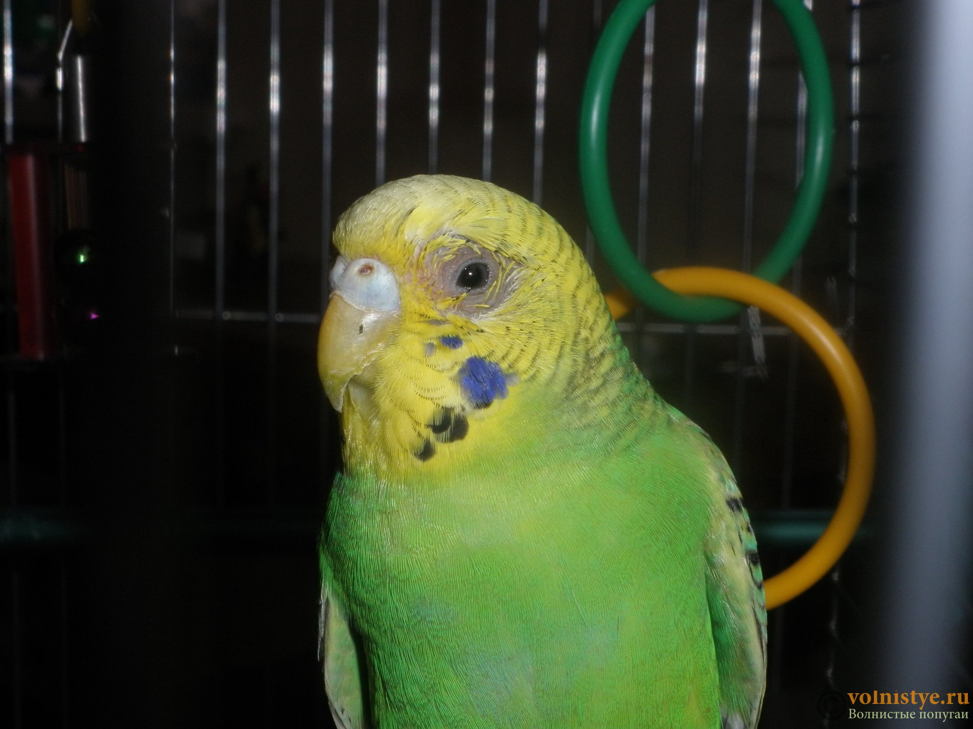 Французская линька у волнистых попугаев симптомы фото
