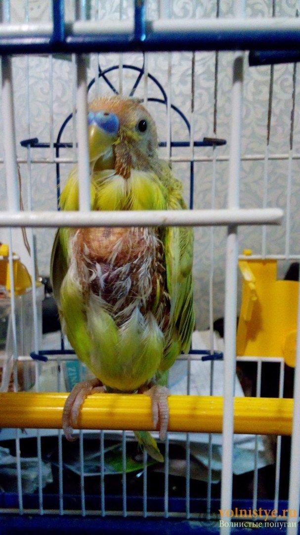 Почему волнистый попугай клюётся