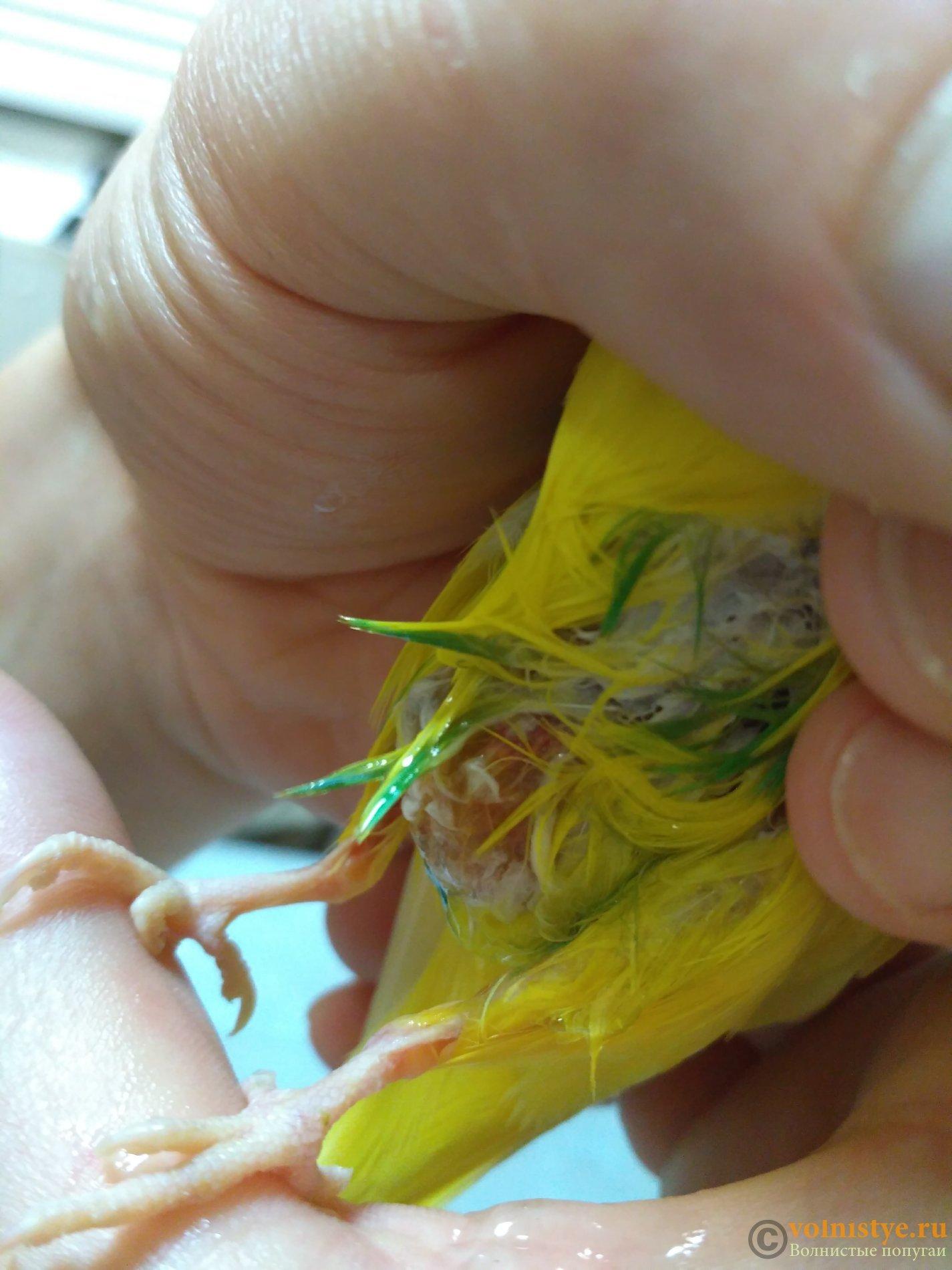 У волнистого попугая жидкий жёлтый помёт!