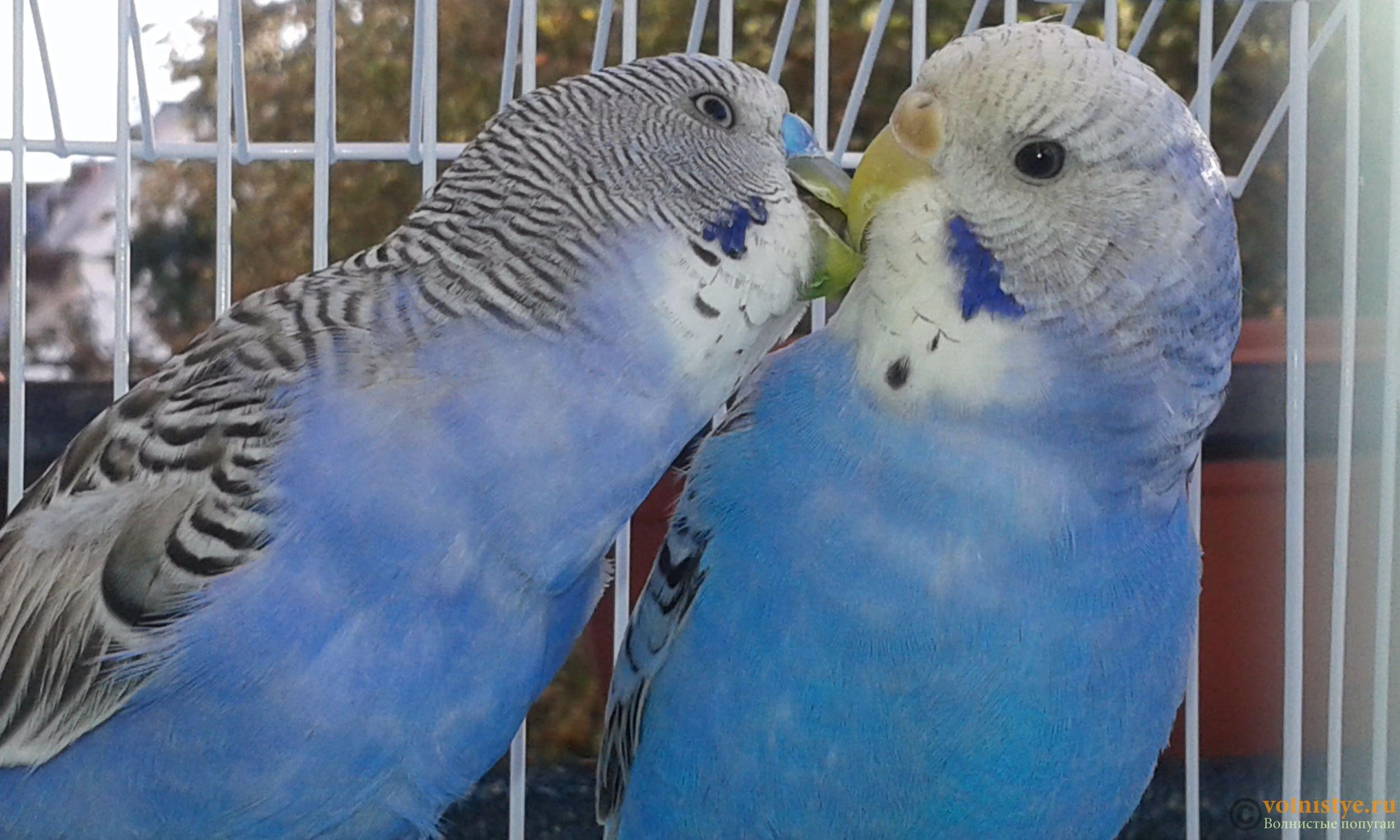 фото волнистых попугайчиков самцов животных
