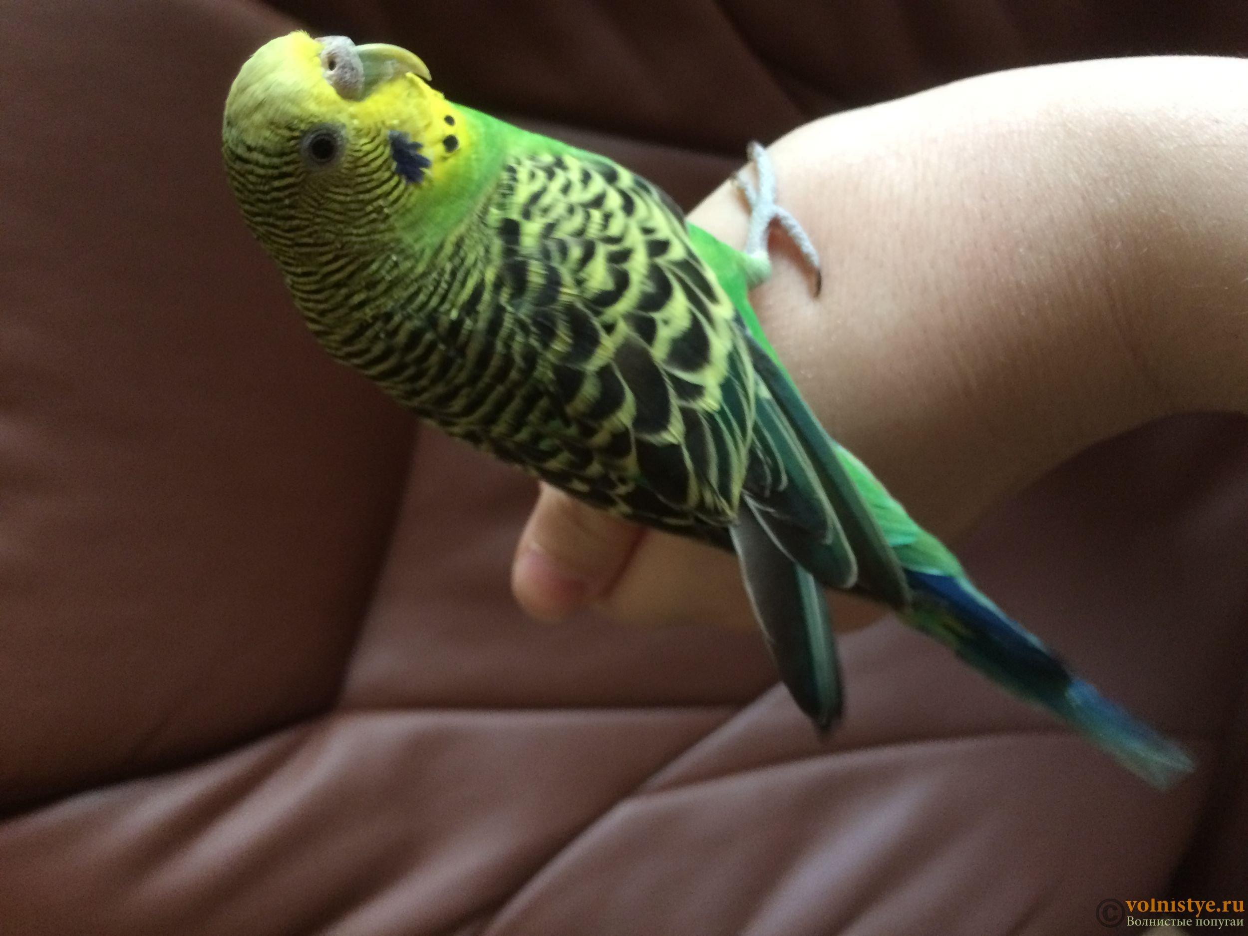 Как научить говорить попугая в домашних условиях - 10 вечерних платьев, которые легко сшить