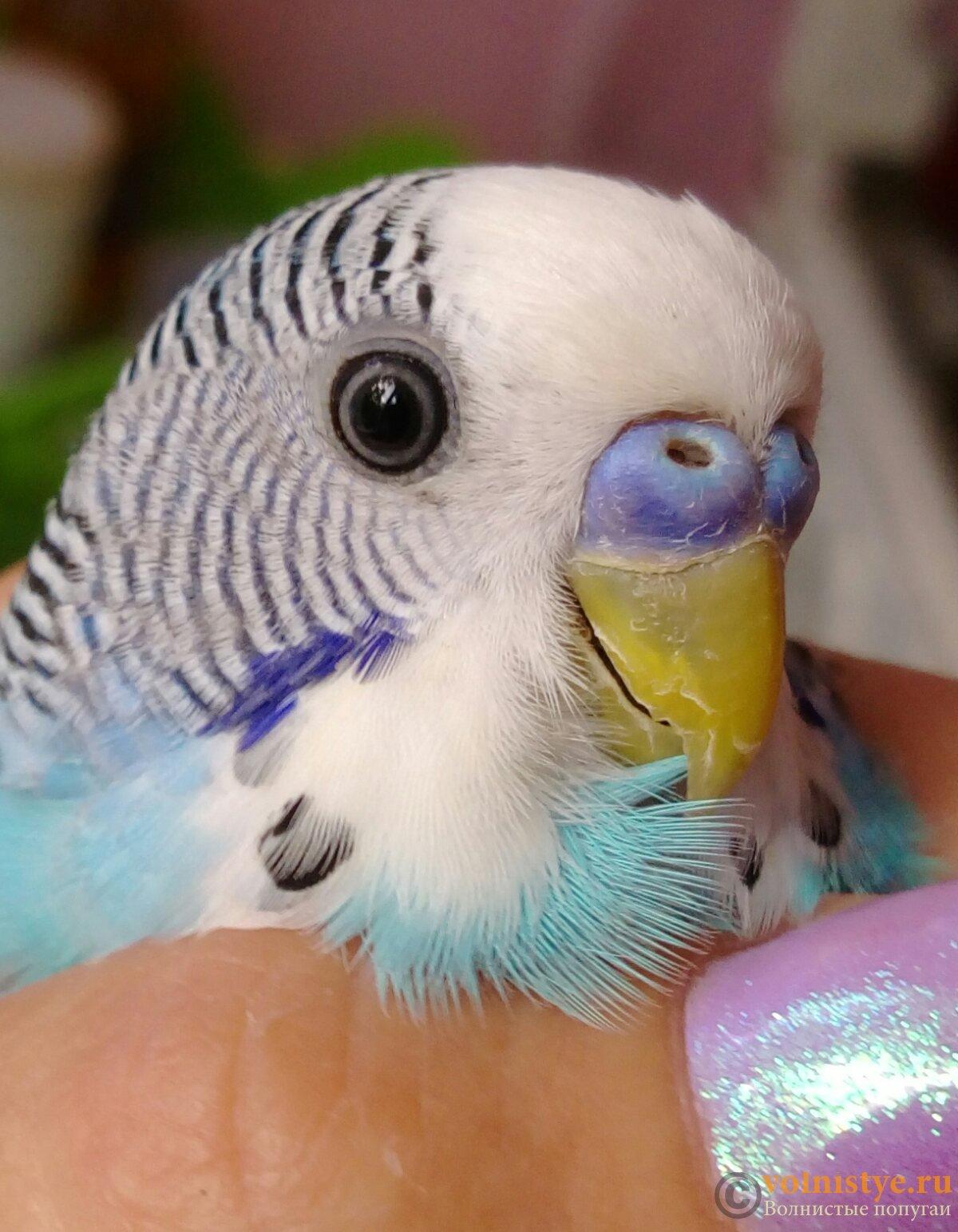 место картинки попугаев волнистых самок костюм