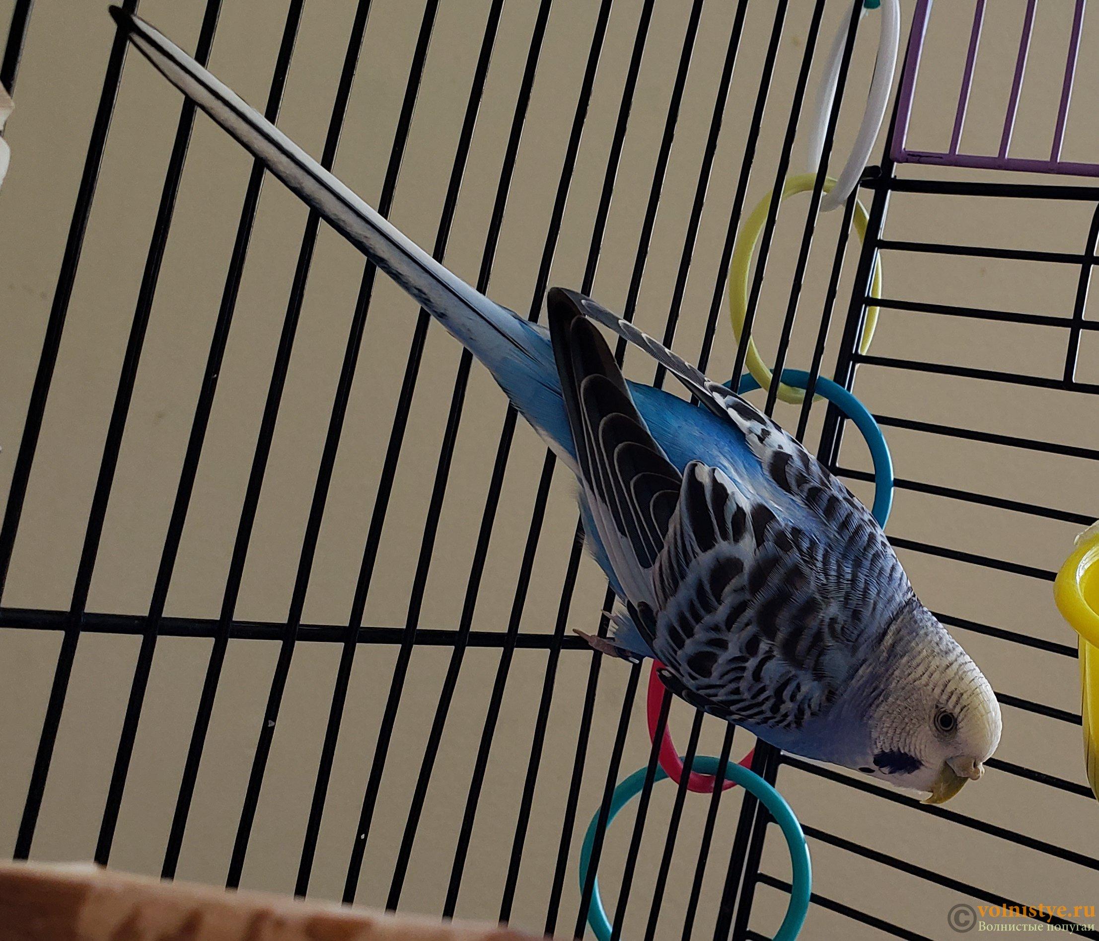 по-настоящему построить расцветки волнистых попугайчиков фото лето приезжает много