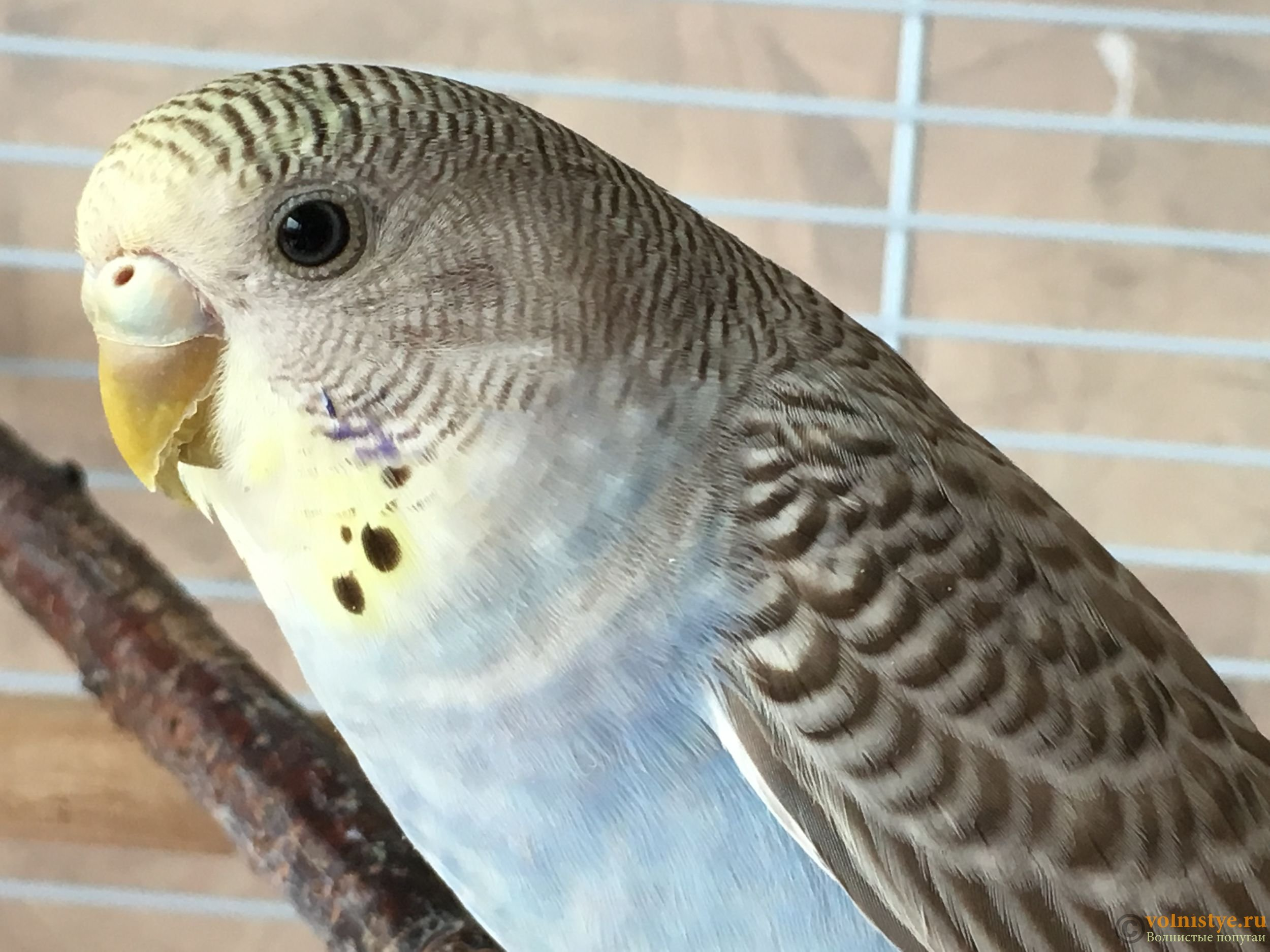 нам виды волнистых попугаев фото и названия подшипника ступицы