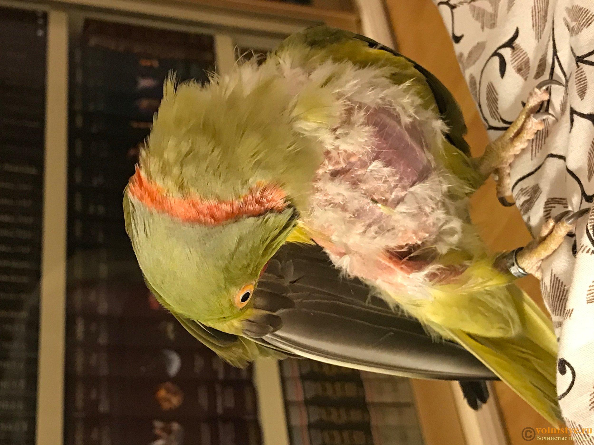 Как выглядит здоровый клюв попугая фото