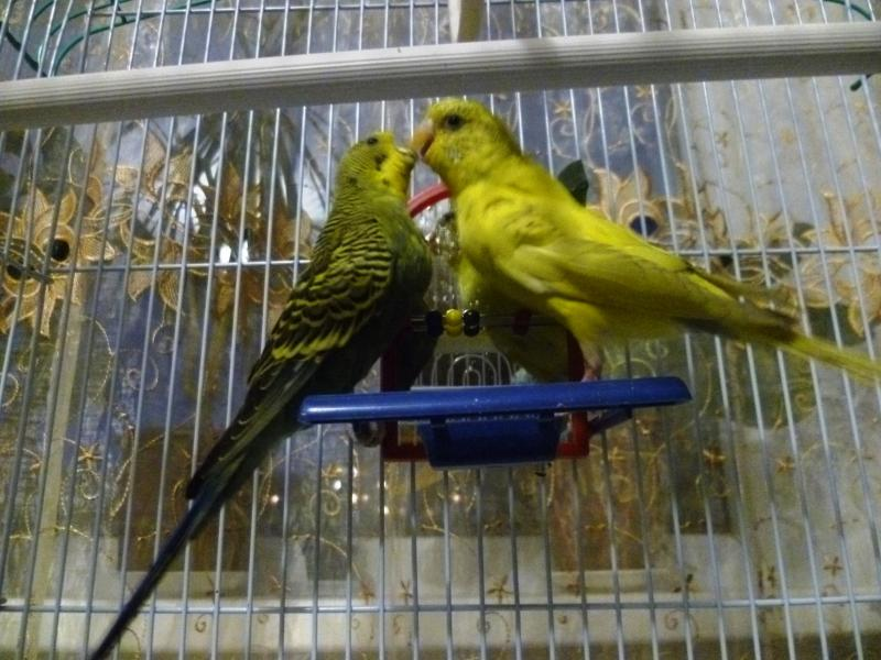 Кеша и Нюша целуются. (Нюша - жёлтая, Кеша - зелёный). - P1040958.JPG