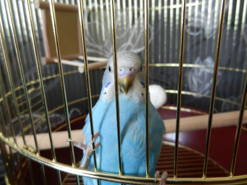 Волнистый попугай Ричи - DSCN4685.JPG