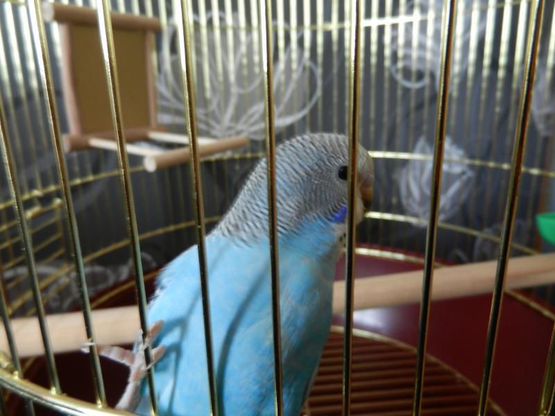 Волнистый попугай Ричи - DSCN4686.JPG