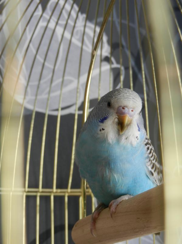 Волнистый попугай - DSCN4688.JPG