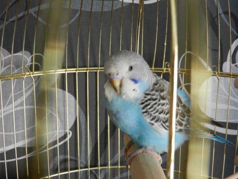Волнистый попугай - DSCN4690.JPG