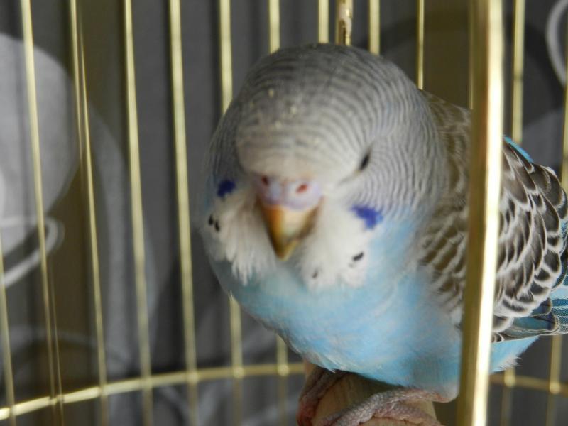 Волнистый попугай - DSCN4694.JPG