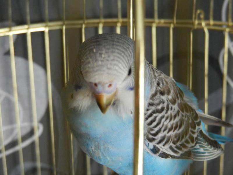 Волнистый попугай - DSCN4696.JPG