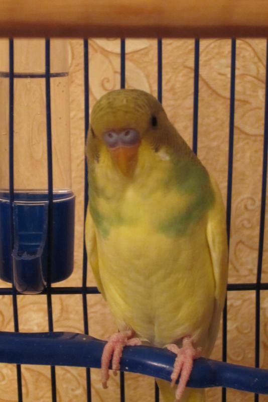 Волнистый попугайчик - IMG_1736.JPG