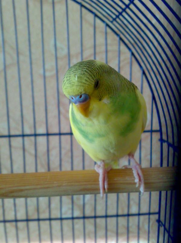волнистый попугай - 17032013731.jpg