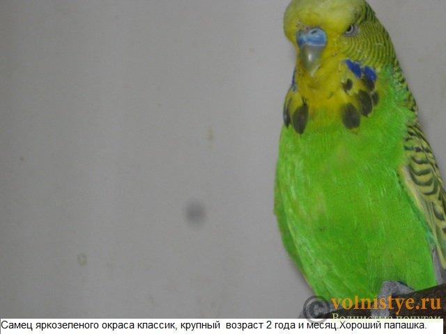 Волнистые попугаи выставочного типа молодежь Москва - IMG_5190.JPG
