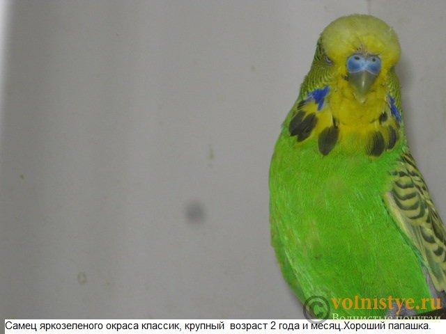 Волнистые попугаи выставочного типа молодежь Москва - IMG_5191.JPG