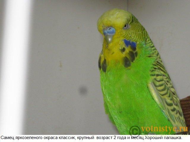 Волнистые попугаи выставочного типа молодежь Москва - IMG_5198.JPG