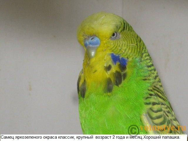 Волнистые попугаи выставочного типа молодежь Москва - IMG_5199.JPG