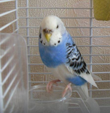 Волнистый попугайчик Стеша1 - Стеша1.jpg