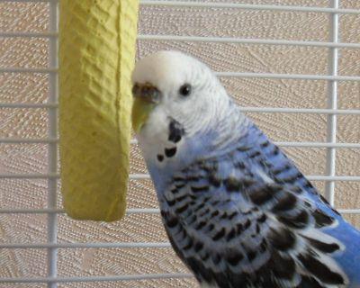 Волнистый попугай Кеша1 - Кеша 1.jpg