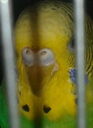 Наросты на клюве попугая - d85d7065c7.jpg