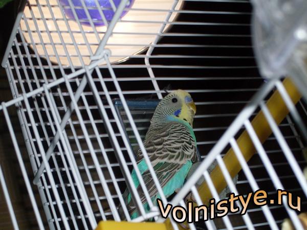 Обогрев волнистого попугая под лампой - sdc13558.jpg